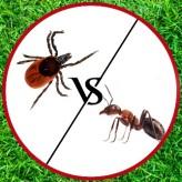 Клещ против муравья